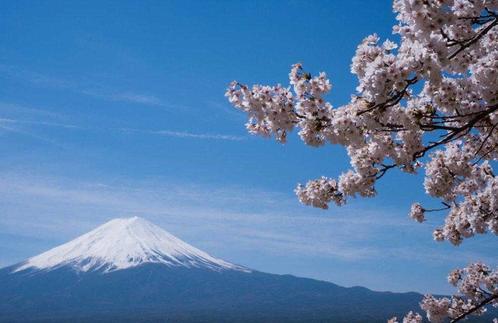 fuji-cherry-blossums